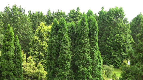 Canadian evergreen trees. View of Treetops and sky. Slow camera pan across park Footage