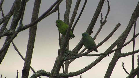 Birds parrots parakeets exotic bird Footage