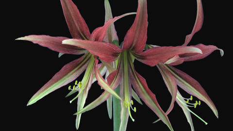 Time-lapse of amaryllis hippeastrum Cybister Tango with ALPHA channel Footage