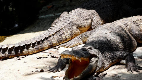 Group of Adult Crocodiles Relaxing in Shade on a Hot Day Footage