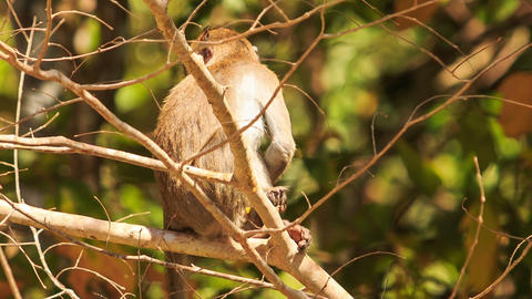 Closeup Monkey Sits on Branch Eats Fruit in Park Footage