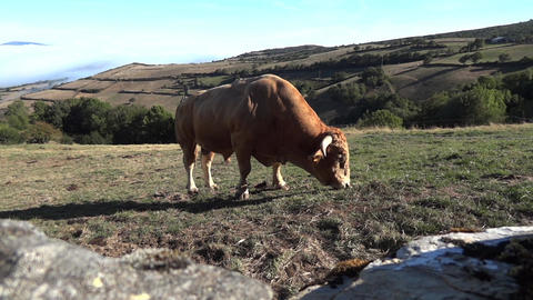 Bull grazing peacefully in a pasture surrounded by stone walls on a hill greened Footage