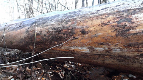 Fugitive rises with care and fear behind a tree trunk fell to the ground and he  Footage
