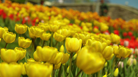 Yellow tulips blooming Footage