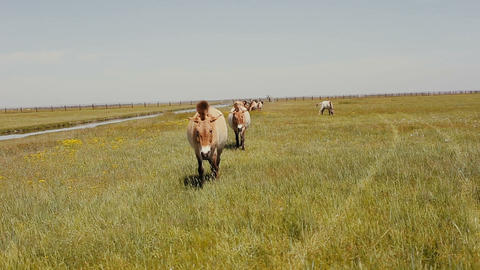 Przewalski horses are grazing in the steppe. Wild horses... Stock Video Footage