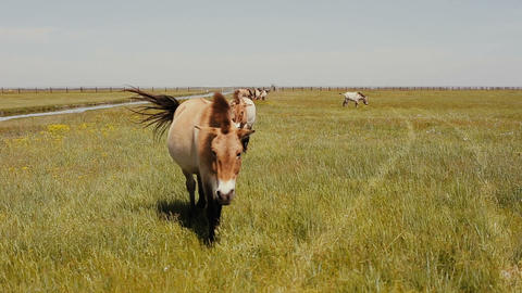 Przewalski horses are grazing in the steppe. Wild horses are eaating green grass Footage