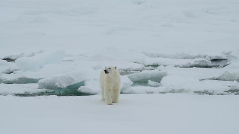Polar bear walking in an arctic Footage