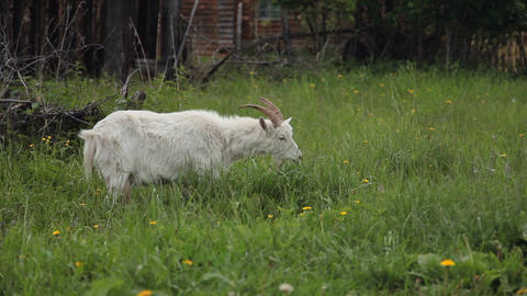 White Goat Eats Grass Footage