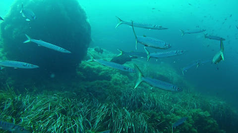 Marine sea life - Underwater school of barracudas in a reef Live Action