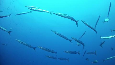 Marine sea life Underwater scene with a school of barracudas, Live Action