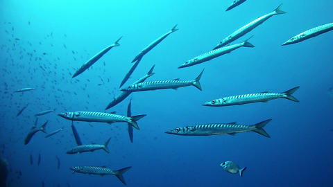 Marine sea life Underwater scene with a school of barracudas Footage