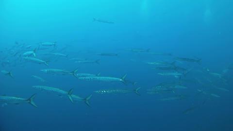 Marine sea life - School of barracudas in open sea, Live Action