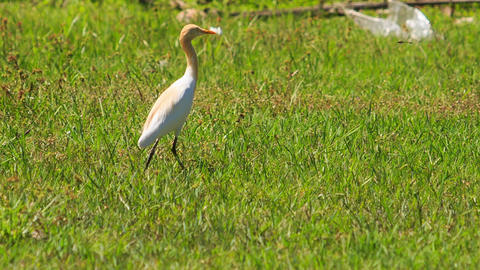 Long-necked White Bird Walks on Green Grass in Park Footage