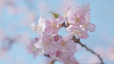 Kawazu Cherry blossoms,at Showa Memorial Park,Tokyo,Japan,Filmed in 4K Footage