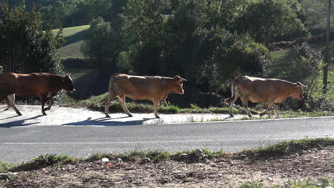 Herd of cows on the a country road that escort home for several dogs 41 Footage