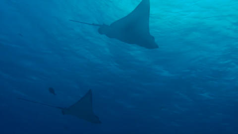Spotted Eagle Ray Footage