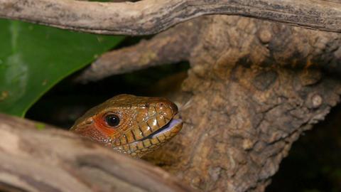 Reptile Face and Black Tongue Closeup Footage