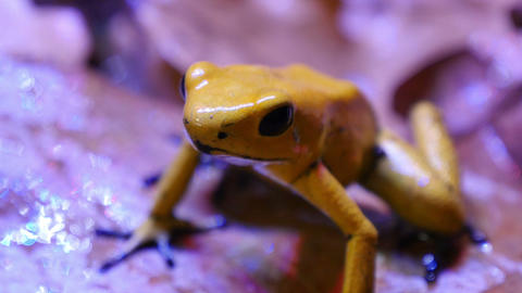 Golden Poison Terribilis Arrow Frog Footage