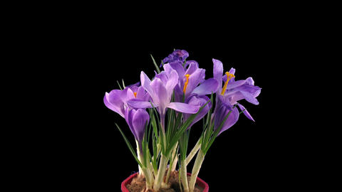 Time-lapse of growing and dying purple crocus in RGB + ALPHA matte format Footage