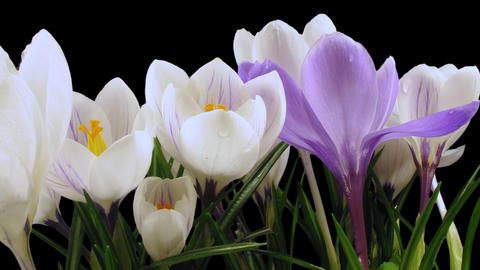 Time-lapse of growing multicolor crocus with ALPHA channel Footage