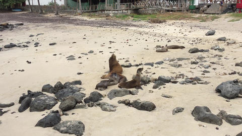 Sea lions family on the beach Live Action