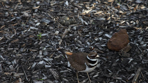Mother Killdeer protecting eggs Live Action