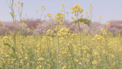 Flowers Of Field Mustard,at Showa Memorial Park,Tokyo,Japan,Filmed In 4K stock footage