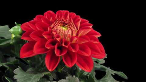 Time-lapse of blooming red dahlia in RGB + ALPHA matte format GIF