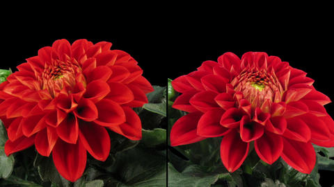 Time-lapse blooming red dahlia in RGB + ALPHA matte format, two cameras Footage