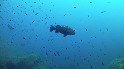 Marine sea life - Grouper fishes in the Mediterranean sea Live Action