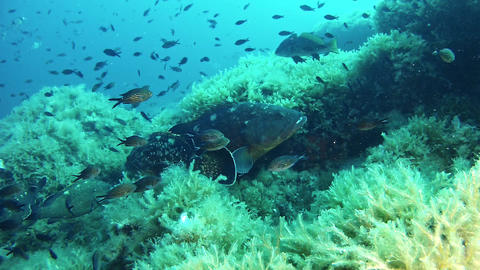 Marine sea life - Underwater landscape with grouper fishes and little Live Action