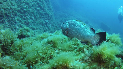 Scuba diving in Majorca Spain - Grouper fish in a reef 영상물