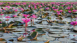 Pink lotus lake, Udon Thani Province, Thailand Footage