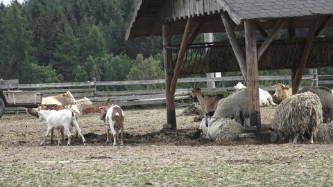 Farm animals. Sheep on farm Footage