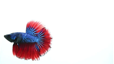 betta Fighting fish on isolated background Footage