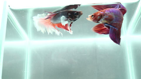 Betta fighting fish are fighting Live Action
