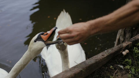 Men's hand feeds two white swans with green grass. White swans are swimming and Footage