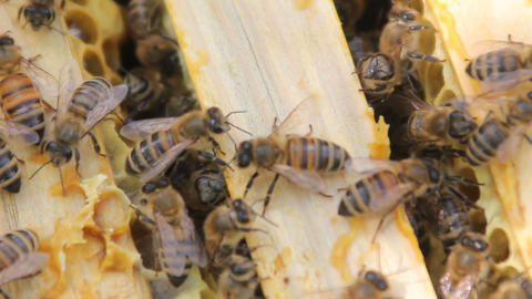 Bees build honeycombs and convert nectar into honey. closeup of bees on ビデオ