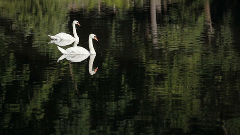 white swans with green grass. White swans are swimming and eating Footage