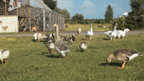 A flock of domestic geese on the farm Footage
