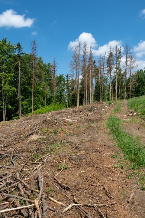 Road through dead trees. European spruce フォト