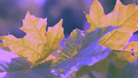 Maple leaves close-up wind on a sunny day ライブ動画