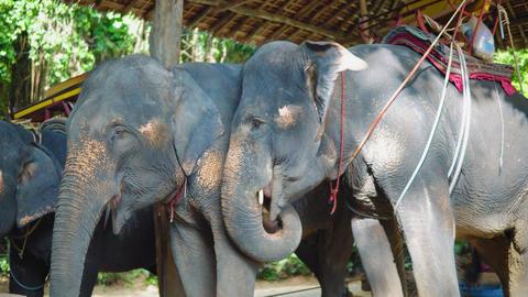 Asian elephants for riding tourists through the jungle. elephant farm, elephant Footage