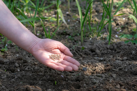 Woman hand putting seed into soil in the spring フォト