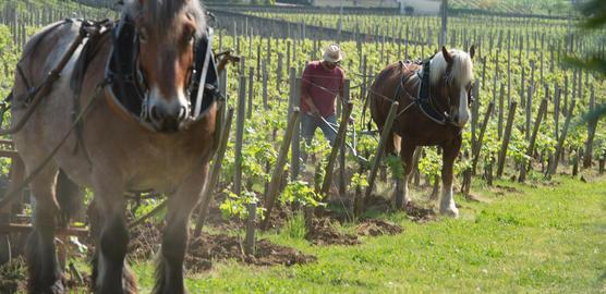 Labour Vineyard with a draft horse, Saint-Emilion, France Photo