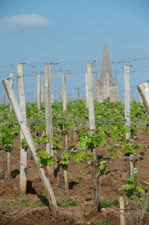 Vineyard at Sring near village of Saint-Emilion Fotografía
