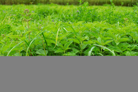 Fresh green stinging-nettle leaves on summer meadow Photo