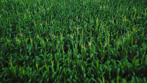Aerial view of a green corn field Live Action