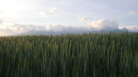 Panorama of mountains and field of grain ビデオ