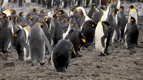 King Penguins On South Georgia Island Live Action